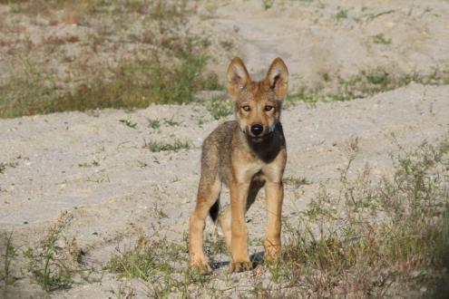 Wolfswelpe im Biosphärenreservat (Foto: André Klingenberger)