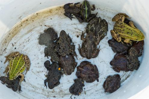 Knoblauchkröten, Rotbauchunken und Teichfrösche warten auf eine sichere Straßenüberquerung (Foto: Dirk Weis, Biosphärenreservatsverwaltung)
