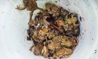 Erd- und Knoblauchkröten sowie Moorfrösche am Amphibienwechsel Steinölsa (Foto: Dirk Weis)